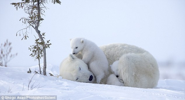 Cubs try their best to get the mother involved as they clamber on top of her to join in the fun | Photo by Shogo Asao