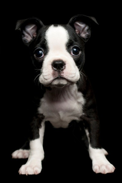 Baby Boston Terrier. What a beautiful dog, and a beautiful city! <3Boston