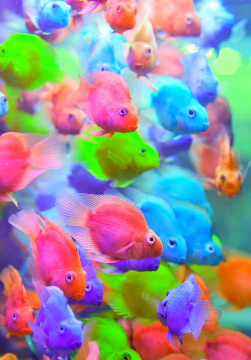 "earthandanimals:  sh4rkies:  earthandanimals:  These fish are dye injected. I urge you to stay away from them as the process can be stressful for fish and can lead to health problems. It is not right and an end should be put to it asap.   It's true. It's very cruel. When I worked in the pet shop my manager ordered some in and straight away when I walked in that Monday morning I said ""Send them back. Seriously. Send them back"". He refused, and every single one of the injected fish died within the first month. It's a horrible practice. I know the fish look pretty and colourful, but the colour will NOT last. It will seep out of their scales and they will turn back white again. Not only this, but the dye can enter the water and turn it toxic, causing the fish to get a number of fatal diseases. Please don't EVER buy these fish if you come across them in a pet store. And openly TELL the shop that you disagree with them buying in ""Dyed/Painted"" Parrot Cichlids. Thank you <3  ^ <3"