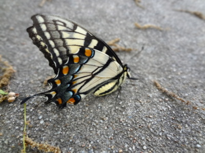 A butterfly I found in the rain last week while I was walking to work. I was so tempted to pick it up, but I didn't want the oils from my hands to damage its wings. In the end it didn't matter, there was a nearby bird.