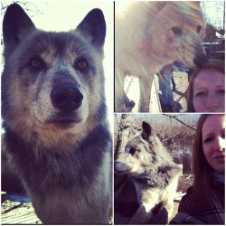 Such a killer time today! Wolf Creek Habitat ill be back soon. #wolves #thepack #yukon #lokiesue 🐾🐺👍🙏
