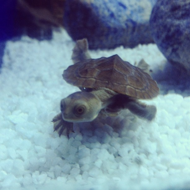 World meet Rufio. Rufio meet world. Rufio is a 12 week old Macleay Turtle who spends most of his time  hiding behind the water filter and heater. Most times he is slapping his friend Tootles in the face as they fight for a spot in their favourite corner - other times he is saving the world and learning to speak French.