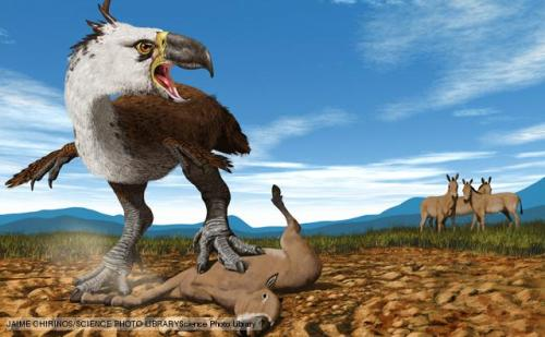 rhamphotheca:  Terror Birds (family Phorusrhacidae) Huge flightless terror birds were South America's top predators for millions of years and at nearly three metres tall certainly lived up to their name. Their modern relatives, the seriemas, kill their prey by smashing it repeatedly against the ground, which may well have been the terror birds' technique too. The terror birds lived between 27 million and 15,000 years ago and spread into North America when the two continents joined. One of these birds boasts the record for the largest bird skull ever found, measuring 71cm long with a wicked, curved 45cm beak. (via: BBC Nature)          (illustration by Jaime Chirinos)  Oh wow terror birds! Terror birds were awesome. I just love how these avian dinosaurs kept their claws - they lived in the easly Cenozoic, right after the great extinction that killed off most of the dinosaurs.