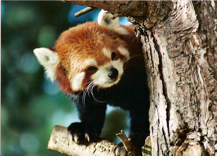 animalgazing:  Red Panda by ~Squire22