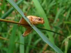 Spring peeper; Photo: Bea Laporte.
