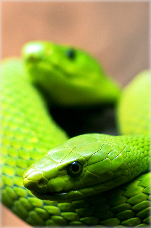 eqiunox:  Green mambas by ~raido-ehwaz