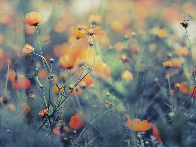 mykindafairytalee:  Yellow Cosmos by emi fujimoto on Flickr.