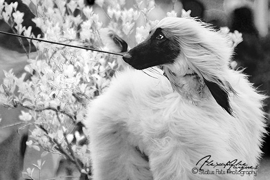 Afghan Hound by Alexandremqs on Flickr.