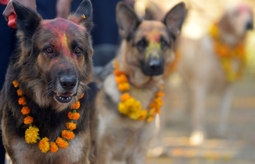 aerialsquid:  tailovecna:   Nepalese police dogs, after being smeared with vermillion on their foreheads and marigold garlands placed around their necks on the occasion of the Tihar (Diwali) festival in Kathmandu, on November 13, 2012. On Tihar, it is customary in Nepal for people to offer blessings to dogs, which, according to Hindu tradition, are the messengers of Yamaraj, the god of death. (Prakash Mathema/AFP/Getty Images)   (Source)  This is so awesome.