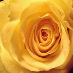 xlargebee:  A #Yellow #Rose means Respect, Joy, Friendship, & Desire. (C four에서)