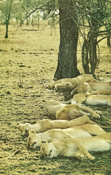 Resting lions in the Serengeti National Geographic | April 1969