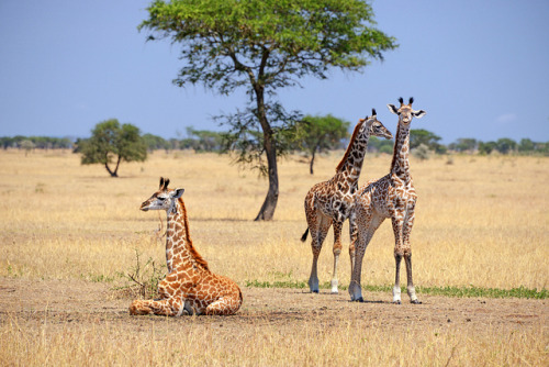 DSC_8905b Singita Grumeti Reserve, Tanzania: Baby Giraffes by wanderlust  traveler on Flickr.