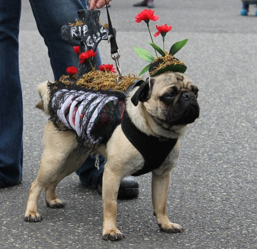 "boodapug:  We had tons of fun at the annual Pug Crawl here in Portland yesterday. I'll be sharing photos over the next week or so as I sort through them. The theme was ""Night of the Living Pugs"" (aka zombies)."