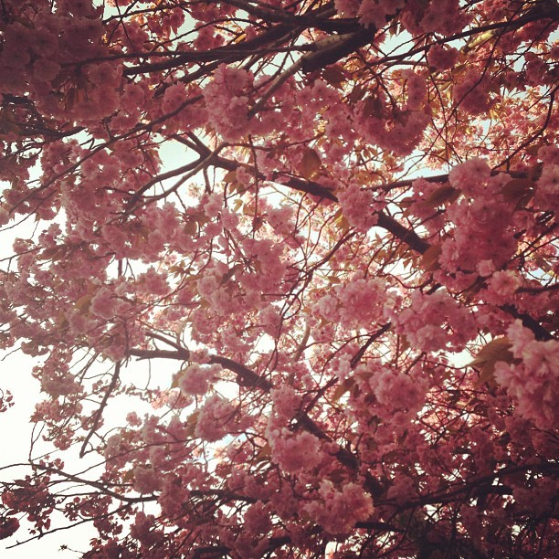 #flowers #blossom #faveflowers #cute #cutesy #pretty #sunshine #pink #tree #hashtaglikeamotherfucker