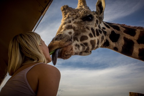 Giraffe kisses ?