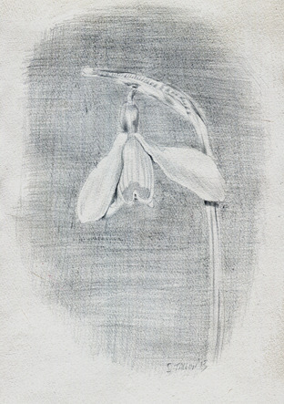 Silverpoint snowdrop. Titanium Oxide acrylic paint ground on watercolour paper.
