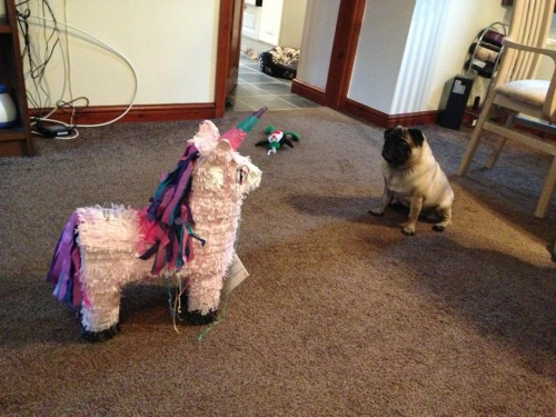 cutepugpics:  The epic stand off continues! (via lemongrassandlavender)