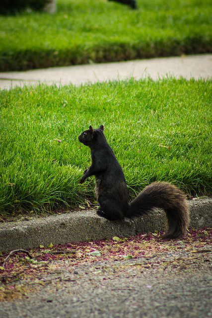 riverdogproductions:  theprimrosewarrior:  arizonasquirrel:  Ninja squirrel.  Ranguvar  ^