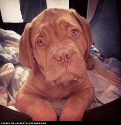 Adorable Dogue De Bordeaux Vinny. Such a sweet face!! What do you want little guy? Via @emmaoconnorxx For more cute dogs and puppies
