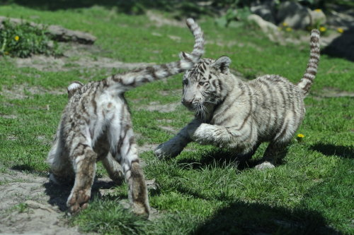 animals-animals-animals:  Tiger Cubs, Playing (by Josef Gelernter)