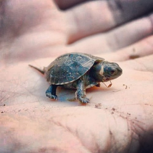 "bone-lust:  Meet the Bog Turtle. This is NOT an ""awww baby turtle"" guys. It is a full grown adult turtle & the smallest North America turtle species. Because of the illegal pet trade & loss of habitat they are critically endangered. Leave wild animals wild friends. Every living thing in nature connects & the extinction of even the smallest creature has a big impact. You can find conservation info about this federally threatened species at @usinterior  Bog Turtles reach about 4"" at adulthood, so this IS a baby turtle.  Mini Musk Turtles are a viable option in the pet trade, being extensively captive-bred, and readily available. They're about the same size as Bog Turtles."