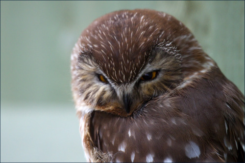 rilgon:  fairy-wren:  Northern Saw-Whet Owl. Photo by IngoSchobert  I've glared at customers like that before.  Hey Ril I'm going to start hosting Minecraft servers ok well bye