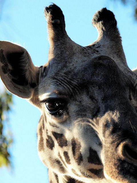 Giraffe up close by Bill Grolz on Flickr.