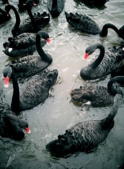 bequintodrive:  Black Swan Party.
