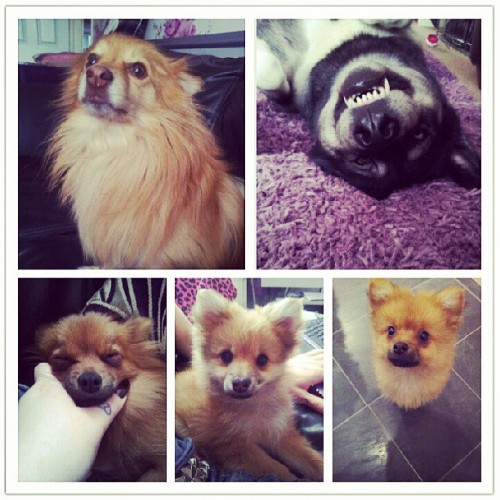 Our mad lot! Teddy, qilaq, beulah, flower and theodore. #dogs #pomeranians #poms #husky #malamute #huskamute #crazydoglady #pomcrazy