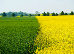 Nature shows a colourful contrast as a bright yellow blossoming rape field is seen next to a still green grain field near Proetzel, Germany on May 19, 2013. [Credit : Patrick Pleul/EPA]
