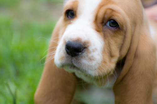 Basset Hound Puppy by Christopher HC Brownmomwo nt let me buy justen timberlaks new ablumあなたは毎回泣く場合は、これをリブログ