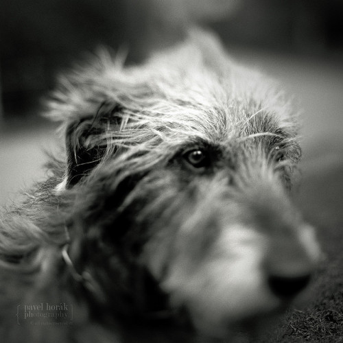 "novocaine8:  Wolfhound ""Groteska"" by Vincént on Flickr."