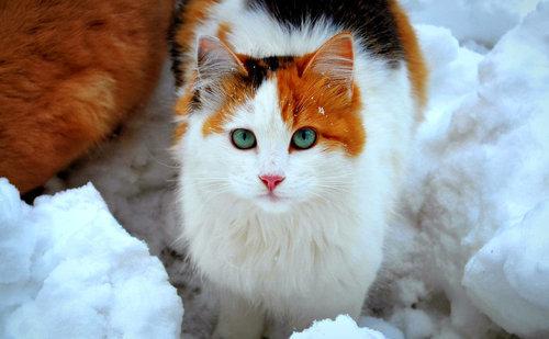 Calico Cat On Tumblr