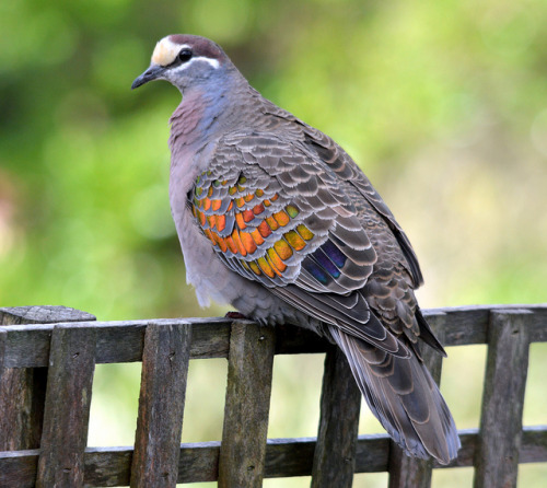 fat-birds:  Common Bronzewing Pigeon. by john.dart on Flickr. and then there's this stunner.