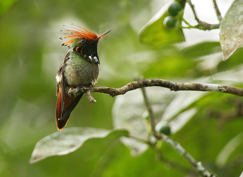 fat-birds:  Rufous-crested Coquette - Manu NP Peru 07_9510rid by fveronesi1 on Flickr.