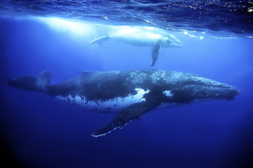marinemammalblog:  humpback whales by melissa.fiene on Flickr.