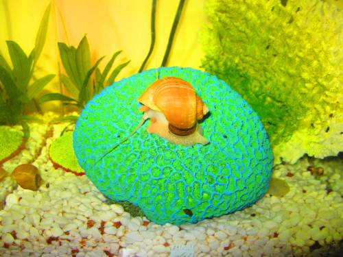 this is my pet snail. he is beautful beast. other pet snail to the left. fish not pictured.