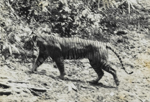 gastornis:   The Javan Tiger (Panthera tigris sondaica) once roamed the forests and mountains of theisland ofJava inSoutheast Asia. Last seen in 1976, these cats went extinct due to habitat loss, diseased prey species, and humans infringing on their natural habitat after civil unrest. More reading:IUCN Red ListA taxonomic revision of the tigers (Panthera tigris) of Southeast Asia (2006)The Javan Tiger and the Meru-Betiri Reserve: A Plan for Management (1980)