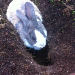 Wake up and Flopscotch is digging to China #bunny #rabbit