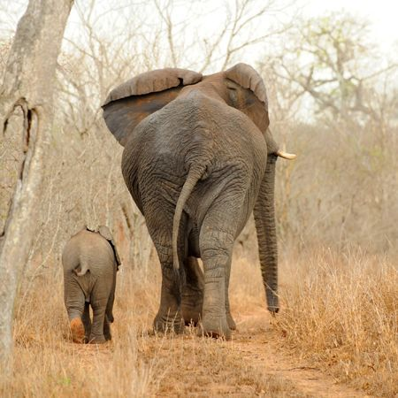just—fine:   Elephants, Sabi Sand Game Reserve Mother elephant with her baby, captured in Sabi Sand Game Reserve, South Africa