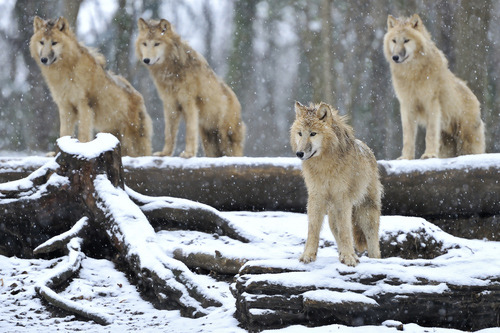 "earth-song:  ""4 Arctic Wolves"" by Josef Gelernter"