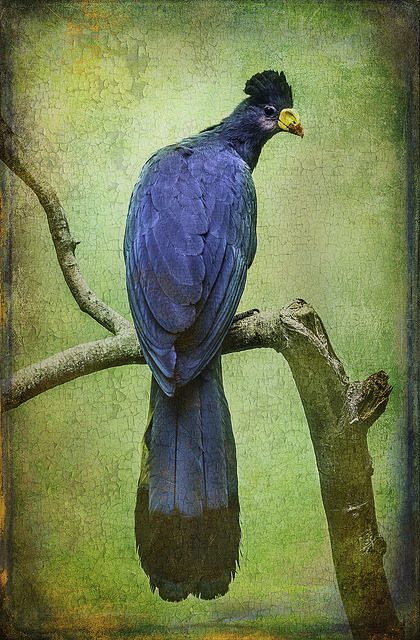 Finer Feather Friends- The Grand Tufted HuttonBird by alan shapiro photography on Flickr.