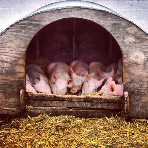 Together • #piglets #pigs #ears #surreydockscityfarm #surreyquays #rotherhithe #londondocklands #southeastlondon #london #england #greatbritain #unitedkingdom #surreydocks #straw #hay #yellow #pink #pigpen #animals #cityfarm #spring #afternoon #21stMay #2013 #hudson #lux #st #thest  (at Surrey Docks City Farm)