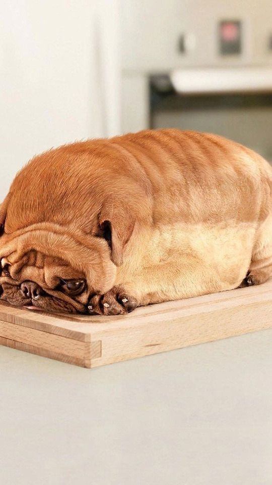 It's a loaf of bread. No!! Wait a sec!! It's a PUG!!!
