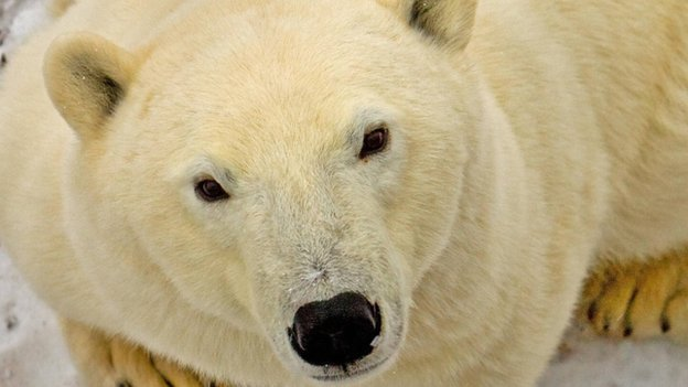 A proposal by the US to ban cross-border trade in polar bears and their parts was defeated on Thursday at an international meeting. The result marks a victory for Canada's indigenous Inuit people over their bigger neighbour to the south. Delegates at the Cites meeting in Thailand rejected the proposal to change the bear's status from a species whose trade is regulated, not banned. (i.e. it's listed under CITES Appendix II. The vote was to move it to Appendix I) A similar proposal was defeated three years ago at the last Cites meeting. The latest plan fell far short of the two-thirds needed to pass the Bangkok conference. It garnered 38 votes in favour, 42 against and 46 abstentions. There are about 25,000 polar bears left in the world with an estimated 16,000 living in the Canadian Arctic. Canada is the only country that permits the export of polar bear parts. Each year around 600 polar bears are killed there, mainly by native hunters. According to Inuit representatives, the pelts from around 300 bears are sold for rugs. Other parts including fangs and paws are also exported. The Inuit say they get an average of $4,850 per pelt. They argue that this is a critical economic resource for a people that do not have much else. Read more: BBC By Matt McGrathEnvironment correspondent, BBC News, Bangkok
