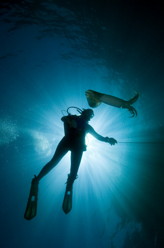 A female diver with a Humboldt Squid, Dosidicus gigas. Photographer: CARRIE VONDERHAAR