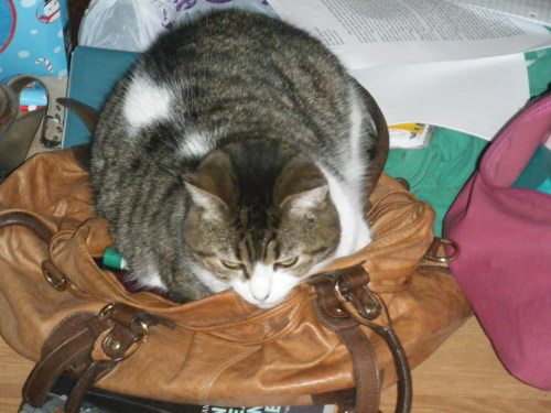 what are you doing in my purse cat? no, we cannot go on a shopping spree.