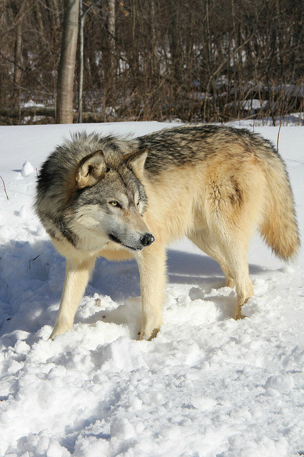 thepredatorblog:  Grey wolf (by MLGreenly)