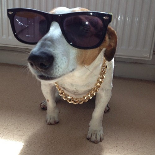 My dog is a gangster #gangster #swag #cool #gold #chain #dog #cute #animal
