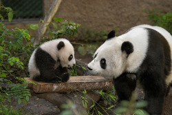 giantpandaphotos:  Xiao Liwu and his mother Bai Yun at the San Diego Zoo, California. © Official San Diego Zoo.